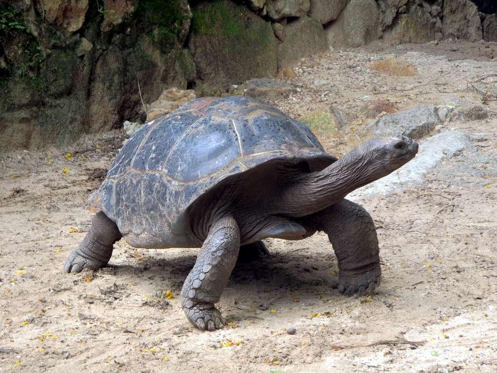 seychelles A giant Aldabra tortoise in the Mont Fleuri Botanical Gardens at Victoria, Seychelles.